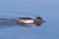 """Garganey dabbling duck anas querquedula swimming in the wetlands of the """"isola della cona"""" natural reserve friuli italy Stock Photo"""