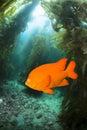 Garibaldo swimming through kelp a bright orange garibaldi fish a bed at catalina island Stock Images