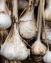 Garlic bulbs drying Royalty Free Stock Photo