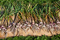Garlic drying at the sun Royalty Free Stock Photography
