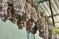 Garlic fruits on the bunches hanging beam Stock Photo