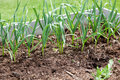 Garlic greens in raised bed rows of growing out of mulch like soil a garden Stock Photography