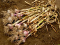 Garlic harvest fresh harvested bulbs with dry leaves on the ground Royalty Free Stock Photography