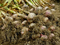 Garlic harvest fresh harvested heap on the ground Stock Images