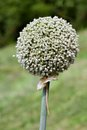 Garlic seed ball of flower Stock Image