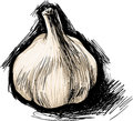 Garlic sketch vector illustration of a Royalty Free Stock Image