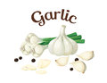 Garlic. Vector illustration made in a realistic style Royalty Free Stock Photo