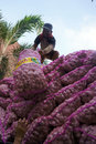 Garlic workers unload in solo central java indonesia Stock Photography