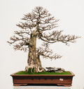 Garnek bonsai Obrazy Royalty Free