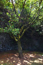 The Garoe tree, El Hierro, Canary Islands, Spain Royalty Free Stock Photo
