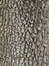 Garry Oak Bark Royalty-vrije Stock Foto's