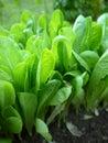 Garten: Kopfsalatanlagen im Sonnenlicht Lizenzfreies Stockfoto