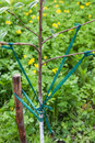 Garter branches of fruit trees correction angle divergence the young tree Stock Image