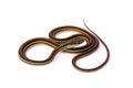 Garter Snake Royalty Free Stock Photo