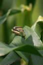 Garter snake on corn Royalty Free Stock Photo