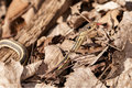Garter snake in the leaves in early spring Stock Image