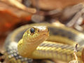 Garter snake looking into the camera closeup of a Stock Photography