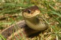 Garter snake thamnophis sirtalis in the grass in spring Stock Photo