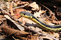 Garter snake tongue a snakes flicks out its while posing on a ground of leaves Stock Images
