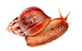Gastropod  snail  in isolated on white Royalty Free Stock Photo