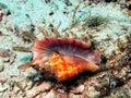 Gastropoda mollusc Royalty Free Stock Photo