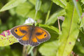 Gatekeeper Butterfly (Pyronia tithonus) Royalty Free Stock Images