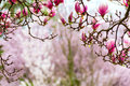 Gateway to spring, japanese magnolia Royalty Free Stock Photo