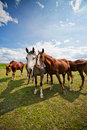 Gather of four horses on a farm in summer Stock Photography