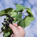 Gathering black currant Royalty Free Stock Photo