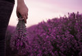 Gathering a bouquet of lavender. Girl hand holding a bouquet of fresh lavender in lavender field. Sun, sun haze, glare. Royalty Free Stock Photo