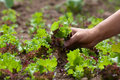 Gathering lettuce hand of woman in the garden Royalty Free Stock Photos