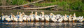 Gathering of pelicans in the morning sun Royalty Free Stock Photos