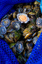 Gathering seafood patella limpet marine gastropods mollusc for cooking Royalty Free Stock Photos