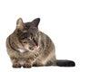 Gato de gato atigrado que lame su boca aislado con el espacio del texto libre Imágenes de archivo libres de regalías