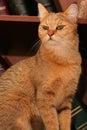 Gato del estante para libros Foto de archivo