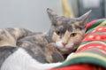 Gattino adorabile ma sonnolento Fotografie Stock Libere da Diritti