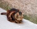 Gatto di tigre Fotografia Stock