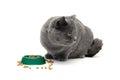 Gatto grigio che mangia alimento da un verde della ciotola su un fondo bianco Fotografia Stock