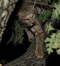 Gatto selvatico Immagini Stock Libere da Diritti