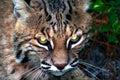 Gatto selvatico Fotografia Stock Libera da Diritti