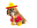 Gaucho dog a shih tzu is dressed as a Stock Photo