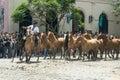 Gaucho drives a herd of horses through San Antonio de Areco, province Buenos Aires Royalty Free Stock Photo