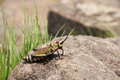 Gaudy grasshopper on a rock in south africa Royalty Free Stock Image