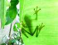The Gaudy Leaf Frog Royalty Free Stock Photo