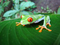 Gaudy Leaf Frog Royalty Free Stock Photo
