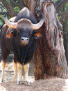 Gaur Royalty Free Stock Image