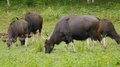 Gaur, or Bos Gaurus Royalty Free Stock Photo