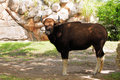 Gaur, Indian Bison Royalty Free Stock Photography