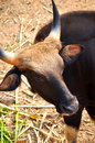 Gaur large bovine native to south asia southeast asia Royalty Free Stock Photo