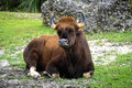 Gaur with strong curved horns lying in the grass. Royalty Free Stock Photo